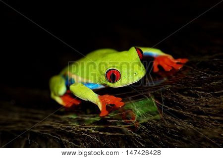 red eyed tree frog .Agalychnis callidrias a tropical amphibian from the rain forest of Costa Rica and Panama. Beautiful jungle animal.