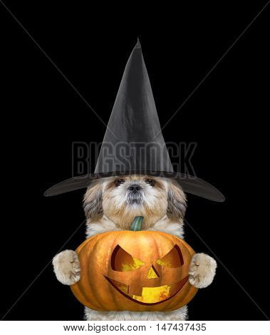 Cute dog in a costume with halloweens pumpkin -- isolated on black