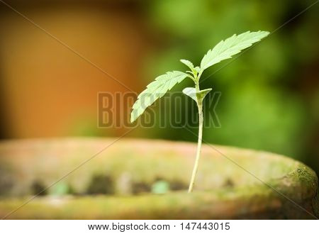 Cannabis indica or Marijuana plant in a clay pot
