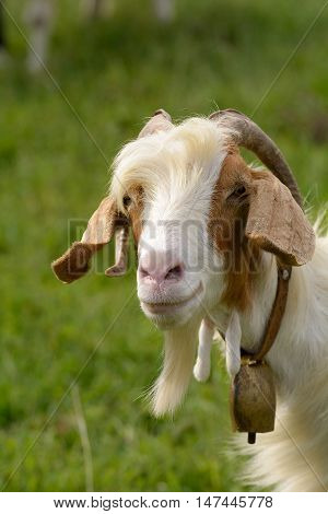 Portrait of a goat with brown and white fur with cowbell.