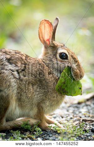 a pretty small hare eats a leaf
