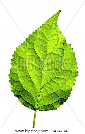 Leaf isolated over a white background