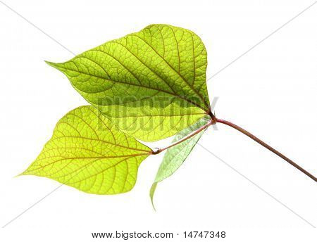 Leaves isolated over a white background