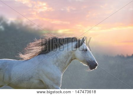 Portrait of the white horse with black mane on the trees and sunrise background