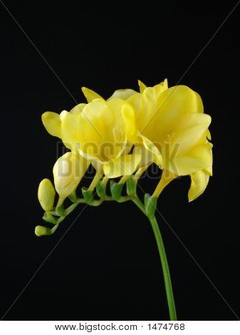 Yellow Freesia On Black