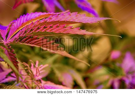 Cannabis female plant under violet LED lighting.