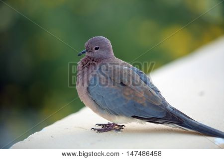 close-up of a gray pigeon in the park against the sky of Egypt in the summer day