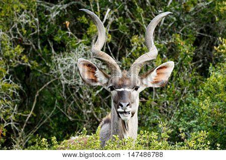 I See You - Greater Kudu - Tragelaphus Strepsiceros