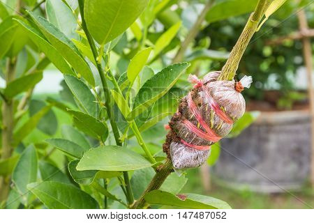 Close up of air layering plant Lime tree.