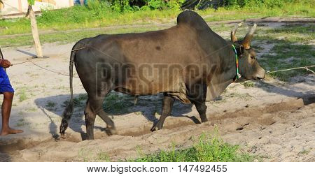brown southern Thai Brahman fighting bull being exercised by trainers, Songkhla, Thailand