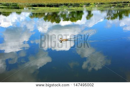 Background image is the peaceful Yahara River reflecting a vivid blue sky and clouds. Lone female Mallard duck glides across the sky.