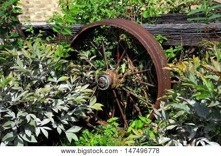 Parked and forgotten this steel wheel is part of a tobacco wagon used for transporting crop. Rusty and overgrown wheel is abandoned.