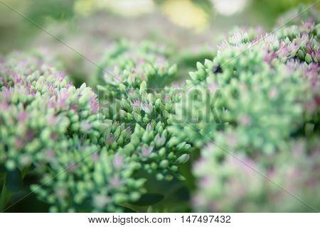 Sedum spectabile Iceberg plant - macro photo of a flower
