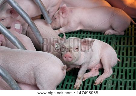 Piglets Suckling In Modern Enclosure