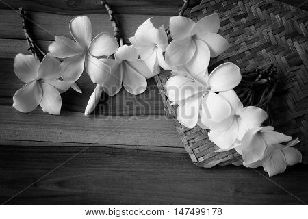 Frangipani tropical flowers, Plumeria flowers fresh and wooden background.Closeup Frangipani flower background. Back and white Filter Effect -White plumeria on wooden background