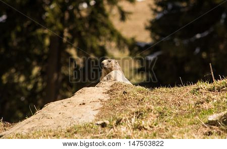 A marmot poking its head up over a rock in a meadow in the Swiss alps.