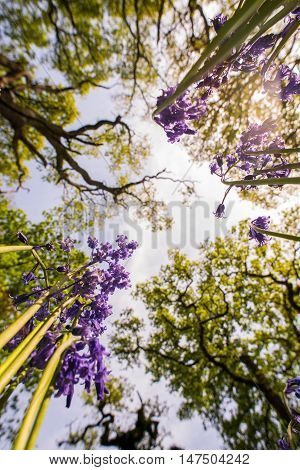 A view looking up at some bluebells from the woodland floor the perspective shifted from the normal view of a bluebell wood.