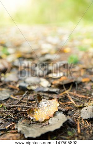 Fallen Leaves Moist with Morning Dew Lying in Ground at Autumn