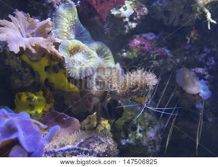 Shrimp On Corals