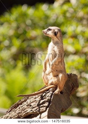 Meerkat, aka suricate, sitting upright on the tree trunk and watching around on alert.