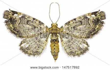 Green Pug Moth on white background - Pasiphila rectangulata  (Linnaeus, 1758)
