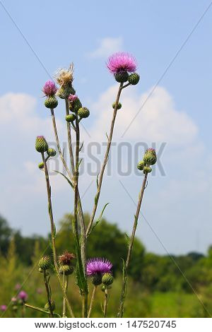 Melancholy thistle (Cirsium Heterophyllum) on the meadow