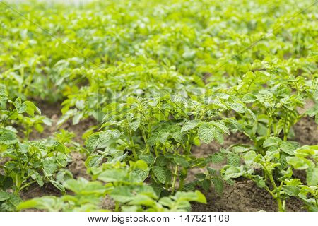 Bushes of potato are in the field in garden