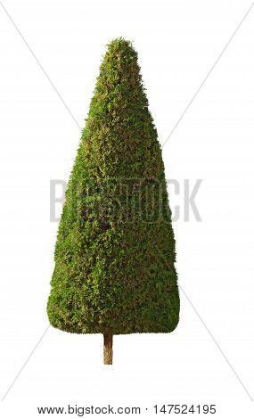 Pyramidal shape cypress tree isolated over white background