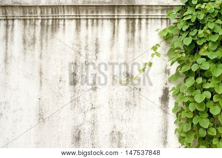 Concrete wall with green creeper for design and decoration