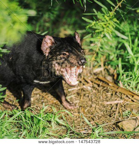 Tasmanian Devil in Hobart, Tasmania during the day.
