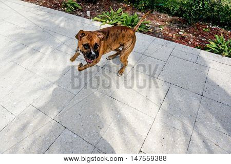 Boxer Dog Sprinting