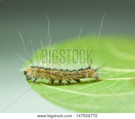 Shaggy Vermin Caterpillar On Leaf Edge