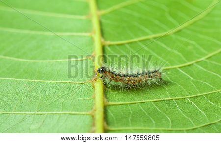 Shaggy Caterpillar On Green Leaf