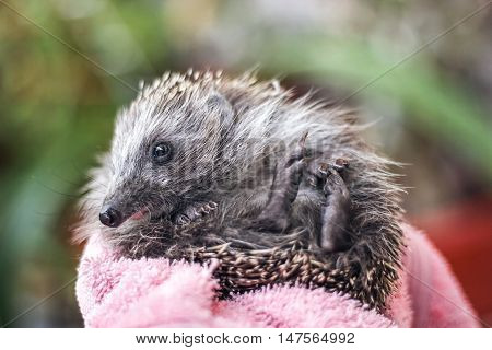 Portrait of a funny hedgehog laying on his back. Young charming spiny european hedgehog (erinaceus albiventris) on hand.