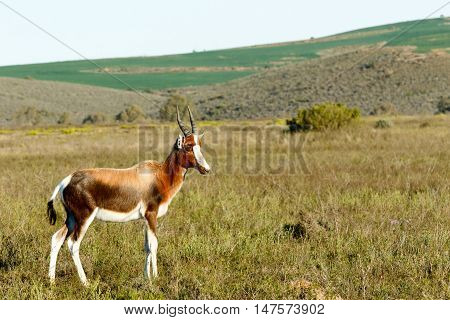 Baby Bontebok - The Bontebok is a medium-sized generally dark brown antelope.