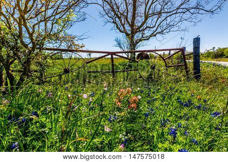 A Meadow at a Farm with Wagon Wheel Iron Gate and Dry Round Hay Bales of Texas Grasses Near Various Fresh Texas Wildflowers in Spring Including Indian Paintbrush and Texas Bluebonnets.