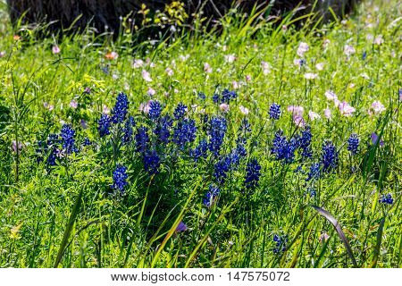 Bluebonnets and other Texas Wildflowers in a Texas Pasture.