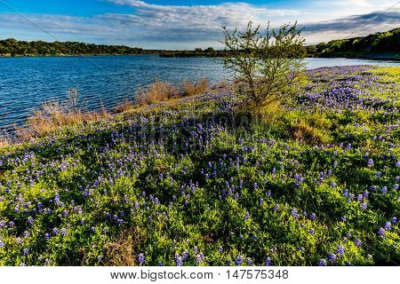 Texas Bluebonnets At Lake Travis At Muleshoe Bend In Texas.