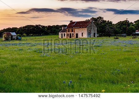 An Interesting Abandoned Old Rock Homestead in a Beautiful Field Loaded with the Famous Texas Bluebonnet (Lupinus texensis) Wildflowers.