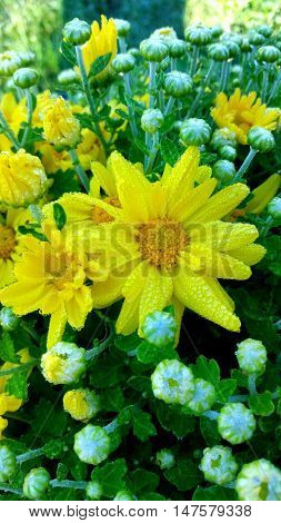 Dewdrops covering yellow autumn Mum flower blooms