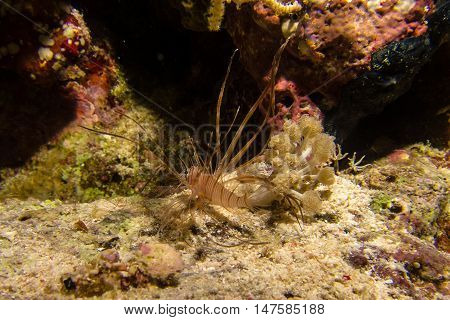 portait of a little lionfish in the red sea