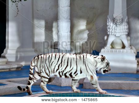 White tiger at the Mirage Hotel in Las Vegas. poster
