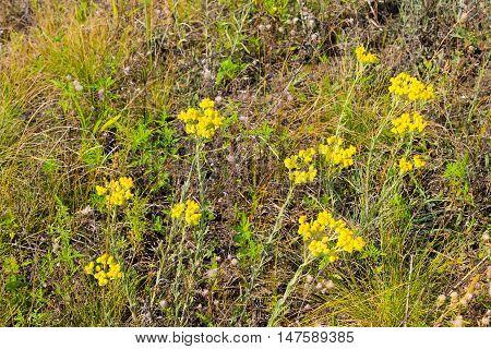 Yellow Helichrysum arenarium growing  on the meadow