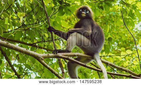 Dusky leaf monkey, Dusky langur, Spectacled langur in forest