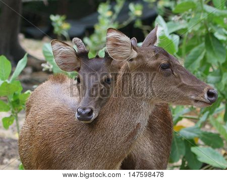 two Eld's Deer does neck hugging in the bushes, zoo near Songkhla, Thailand