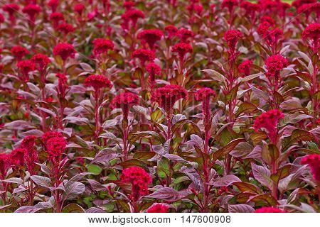 Cockscomb, Chinese Wool Flower in garden for background