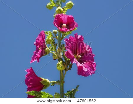 Pink hollyhock flowers on a single branch