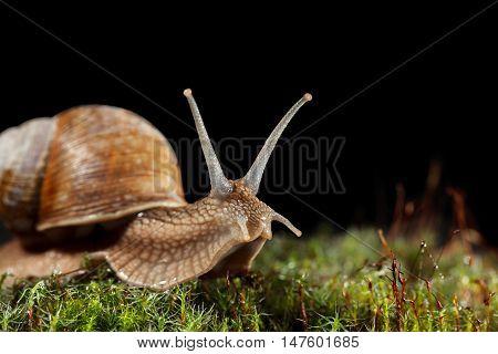 Macro Of Garden Snail In Moss