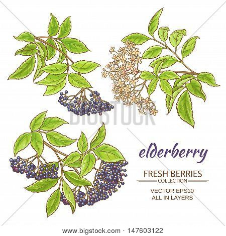 elderberry branches vector set on white background