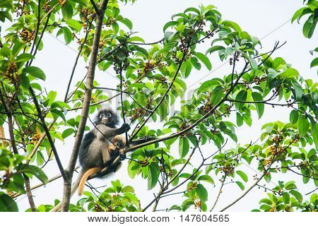 young dusky langur in hug of mother on tree